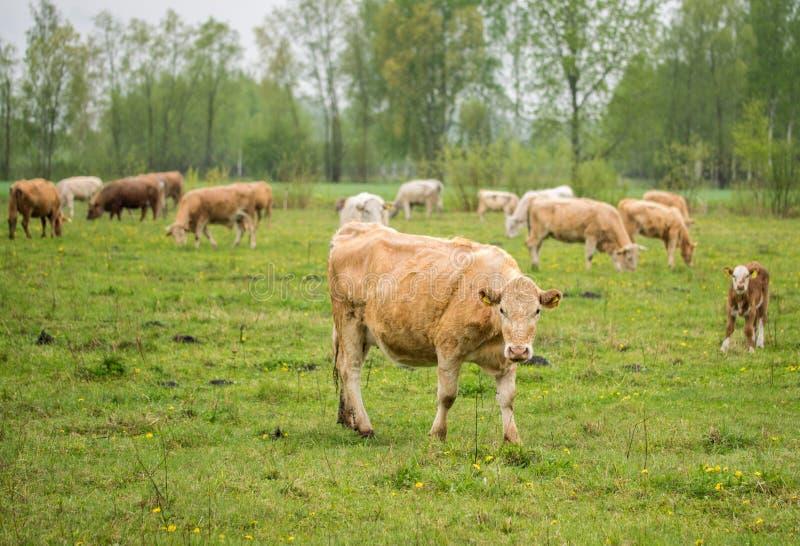 Koeien die in een weide op een de lente regenachtige dag weiden stock foto