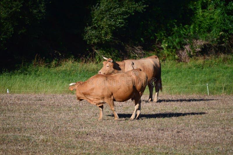 Koeien die en in de Weiden van de Bergen van Galicië weiden zonnebaden De Aard van reisdieren royalty-vrije stock foto's