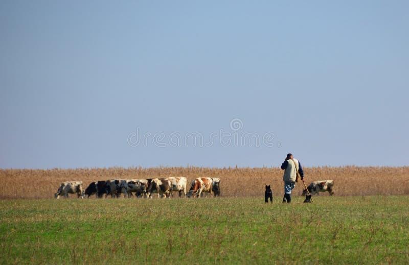 Koeien die gras met cowherd weiden stock fotografie