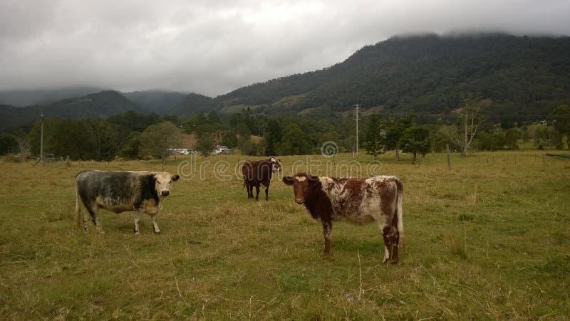 Koeien die gras op het gebied eten royalty-vrije stock afbeelding