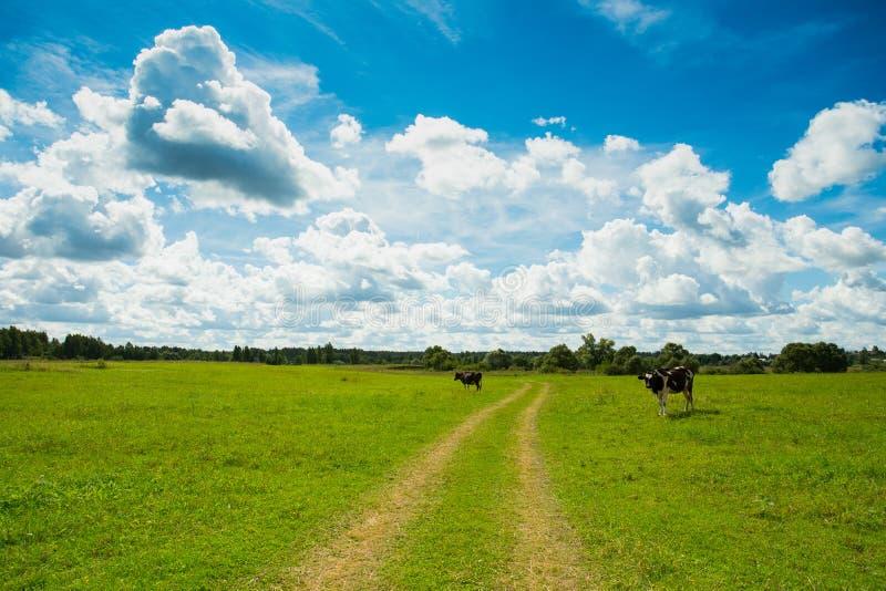 Koeien die Gras op Weide of Gebied weiden onder Dramatische Hemel royalty-vrije stock foto