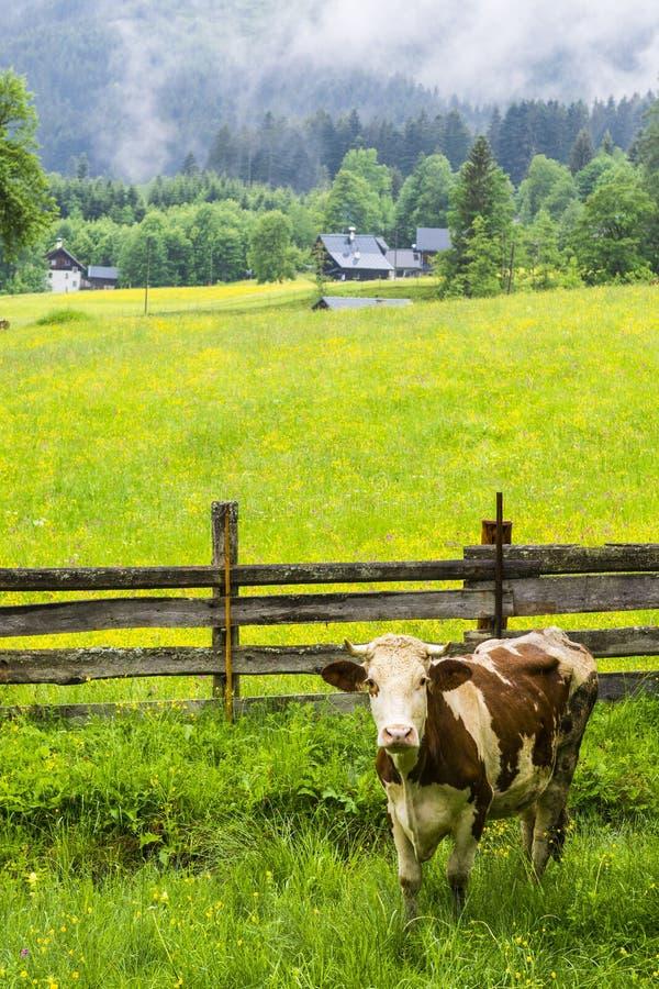Koeien die in landelijk Oostenrijk weiden royalty-vrije stock afbeelding