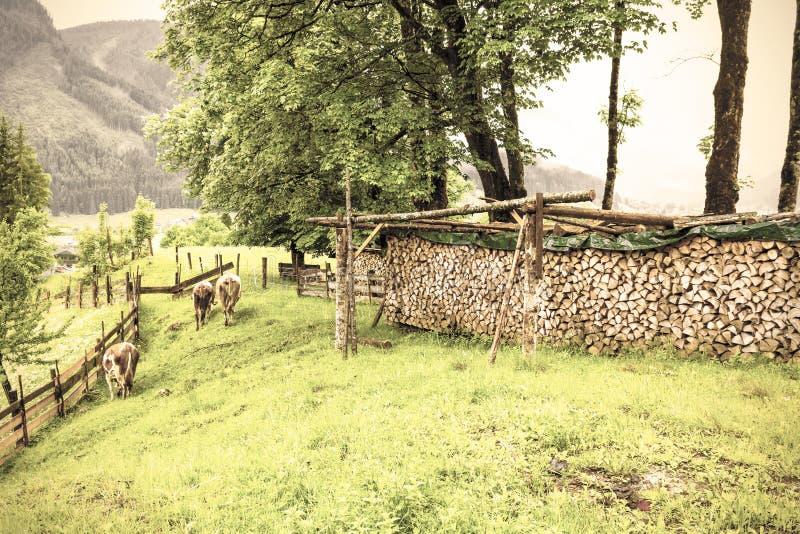 Koeien die in landelijk Oostenrijk weiden royalty-vrije stock foto's
