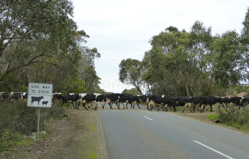 Koeien die landweg kruisen Victoria, Australië, royalty-vrije stock afbeelding
