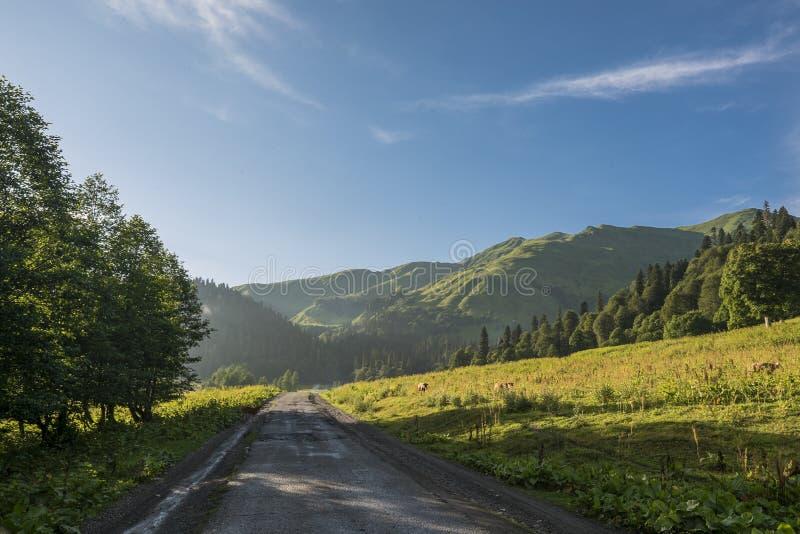 Koeien die langs de weg in de bergen lopen stock fotografie