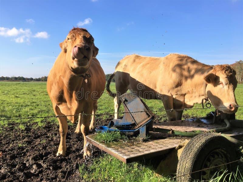 Koeien die met water van daar het drinken van kom spelen royalty-vrije stock foto's