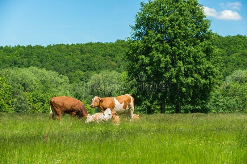 Koeien die op een groen weiland voeden stock afbeelding