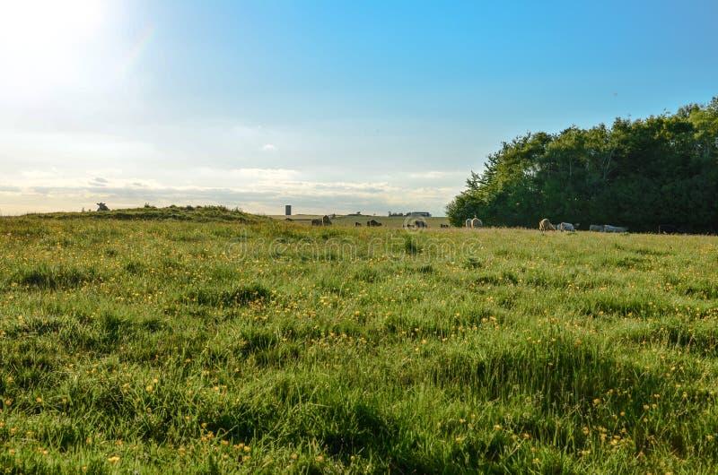 Koeien die op een paardebloemgebied ontspannen op een glorierijke de zomerdag royalty-vrije stock afbeelding