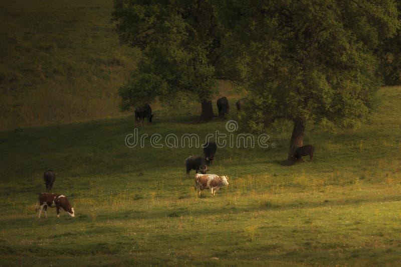 Koeien die op groene weide in de lente weiden stock afbeelding