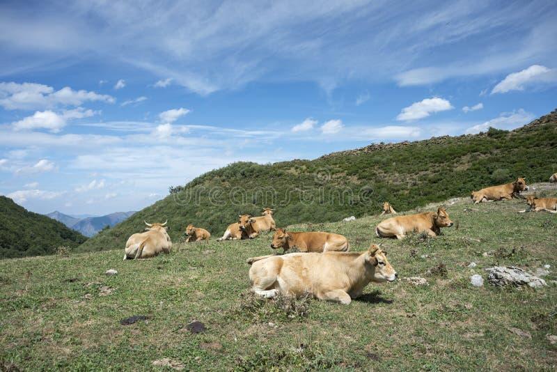 Koeien die op het gebied rusten royalty-vrije stock foto's