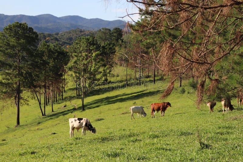 Koeien die op het landbouwbedrijf weiden royalty-vrije stock fotografie