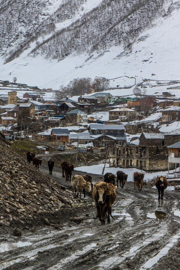 Koeien die op uschgulistraat lopen stock foto's