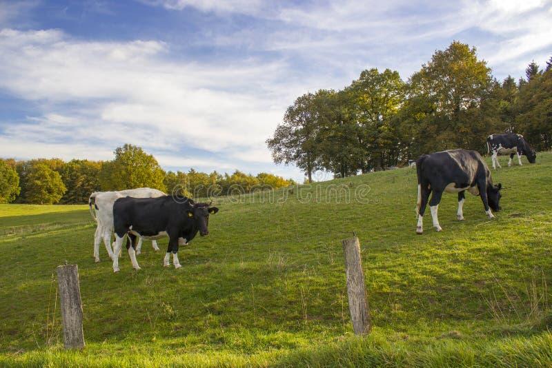 Koeien die op Weiland in Lager Rijn-Gebied, Duitsland weiden stock foto's