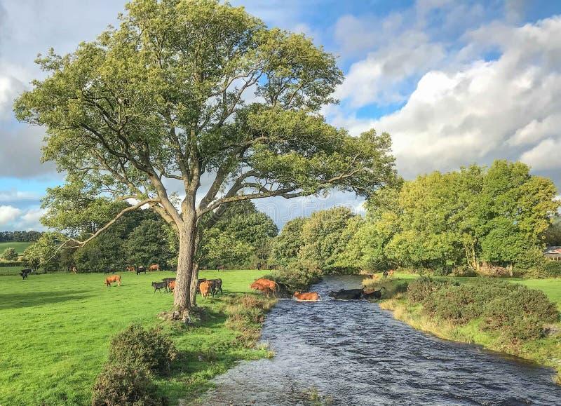 Koeien die rivier kruisen royalty-vrije stock foto's