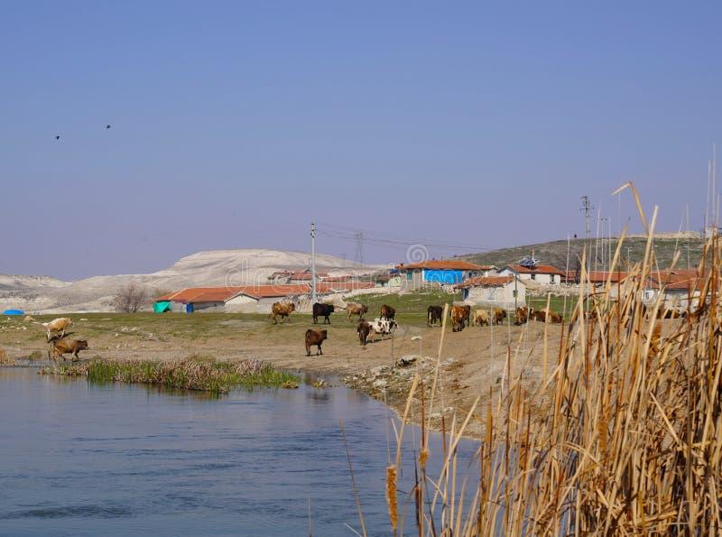 Koeien die van drinkwater van de rivier terugkomen royalty-vrije stock fotografie