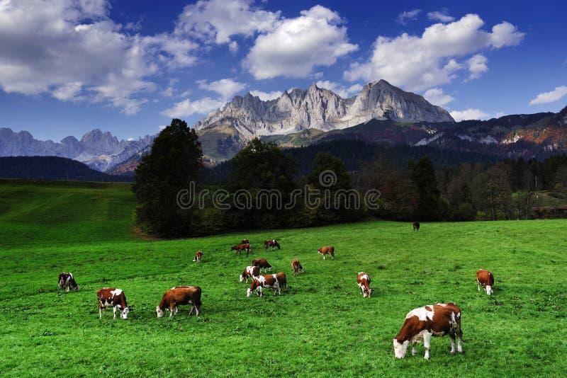 Koeien die voor Wilder Kaiser Mountainsin weiden een zonnige de herfstdag royalty-vrije stock afbeeldingen