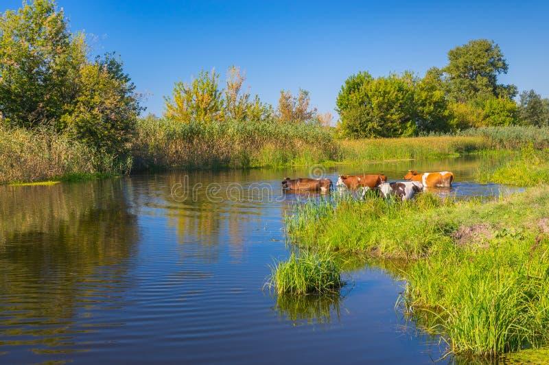 Koeien die waterbehandeling in de zomer Oekraïense rivier Merla hebben royalty-vrije stock foto's