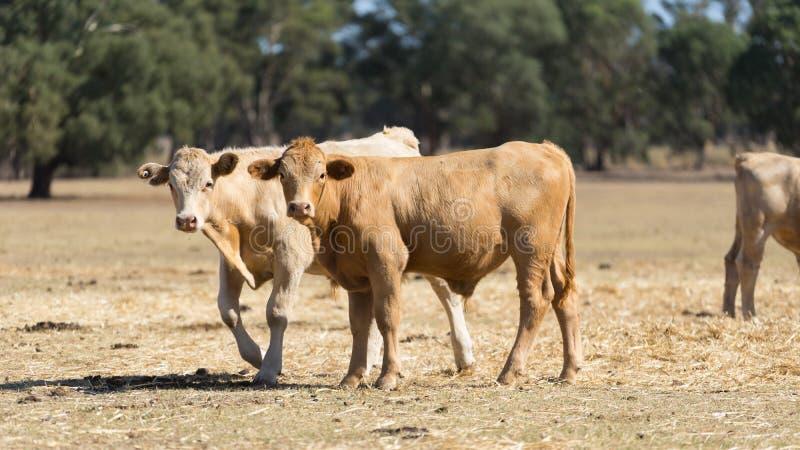 Koeien die zich op Droge Landbouwgrond bevinden royalty-vrije stock afbeeldingen
