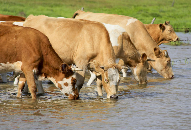 Koeien drinkwater stock foto