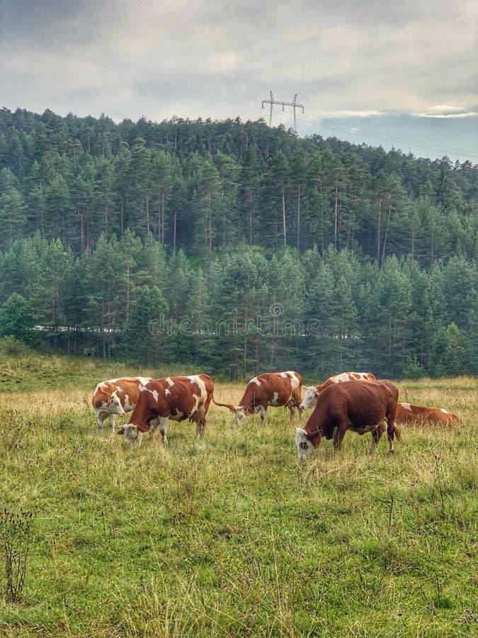 Koeien droevig weiden stock fotografie