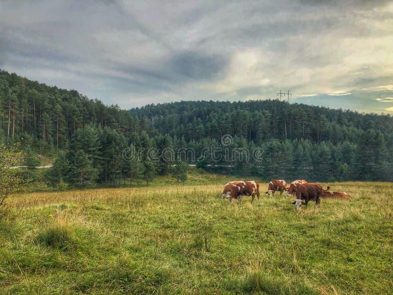 Koeien droevig weiden royalty-vrije stock foto's