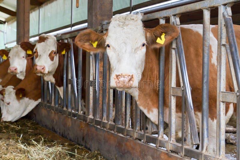 Koeien in een koeloods royalty-vrije stock foto's