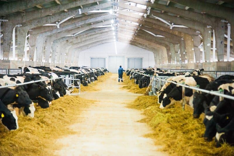 Koeien in een landbouwbedrijf Melkkoeien stock foto
