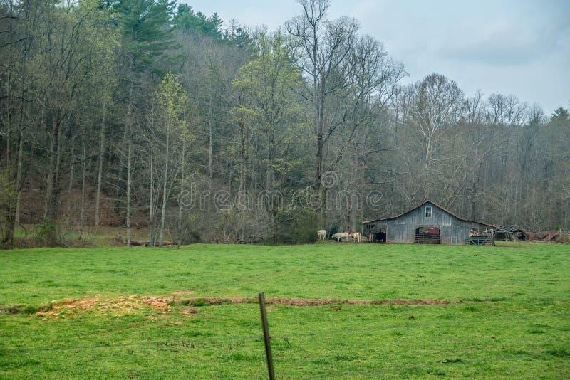 Koeien in een weiland bij de schuur stock fotografie