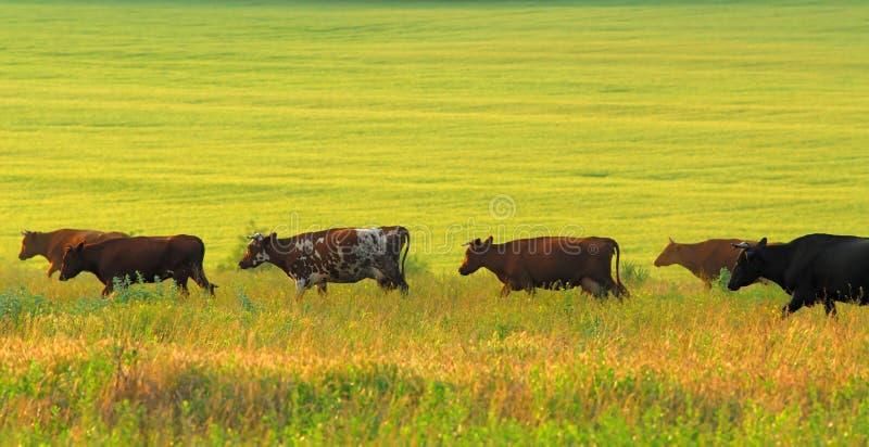 Koeien en groen weiland stock fotografie