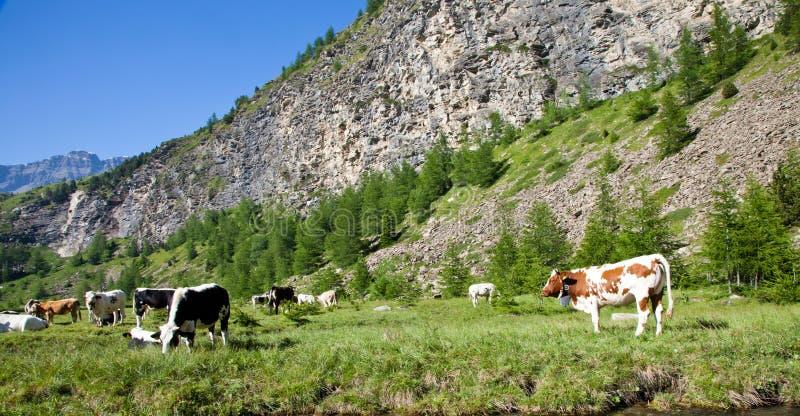 Koeien en Italiaanse Alpen royalty-vrije stock afbeeldingen
