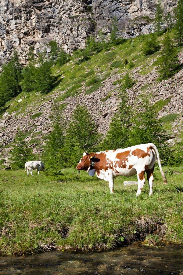 Koeien en Italiaanse Alpen royalty-vrije stock afbeelding