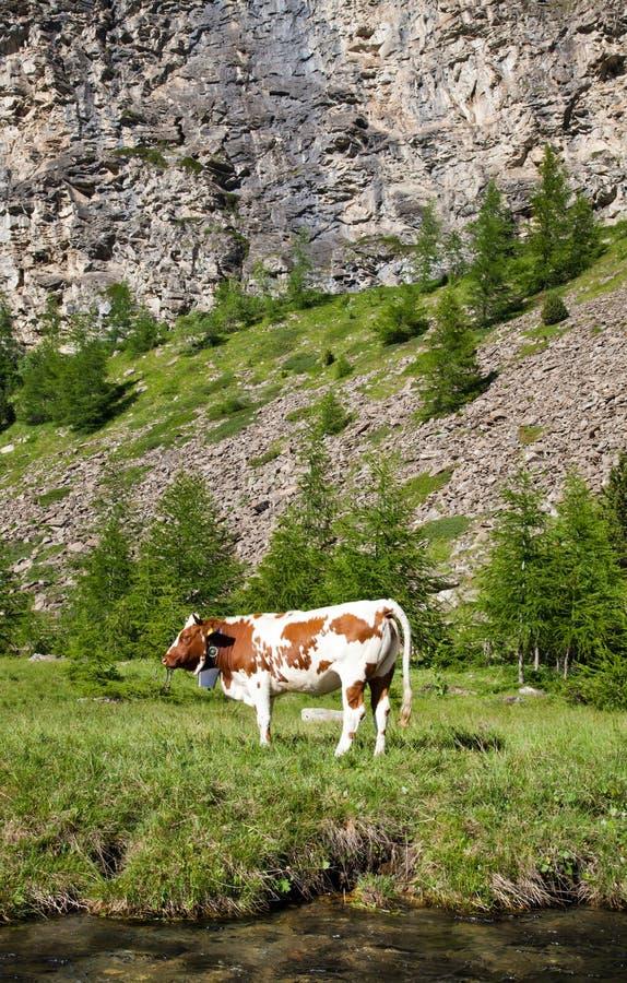Koeien en Italiaanse Alpen royalty-vrije stock foto