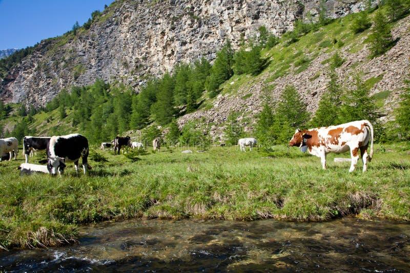 Koeien en Italiaanse Alpen stock foto's