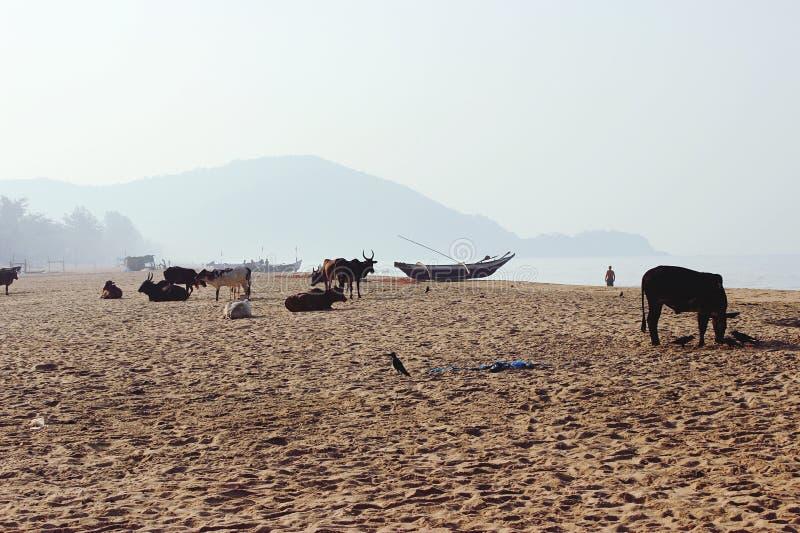 Koeien en strand royalty-vrije stock fotografie