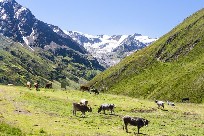 Koeien en Taschachferner, Oostenrijk stock foto's