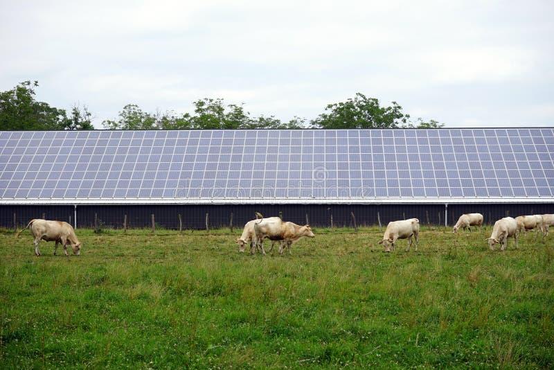 Koeien en zonnekrachtcentrale stock fotografie