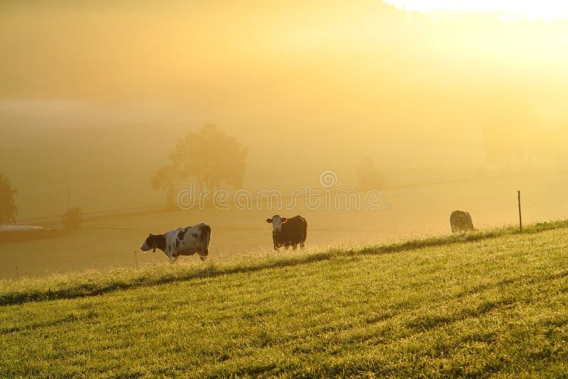 Koeien in gouden vroege ochtendmist door dageraad royalty-vrije stock foto