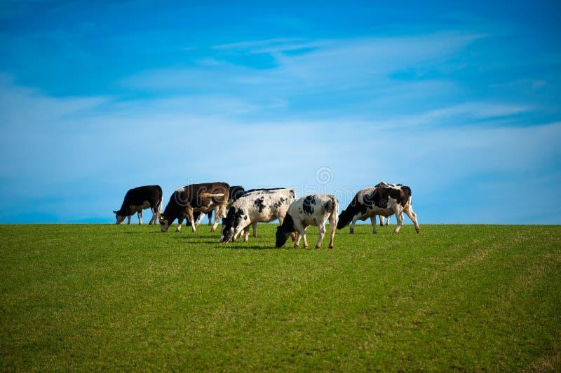 Koeien in groen weiland stock foto
