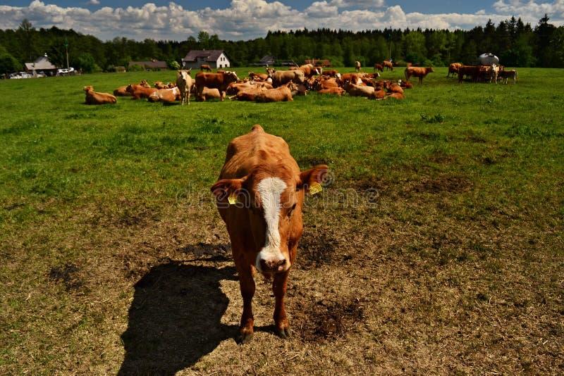 Koeien in groep op het gebied stock fotografie