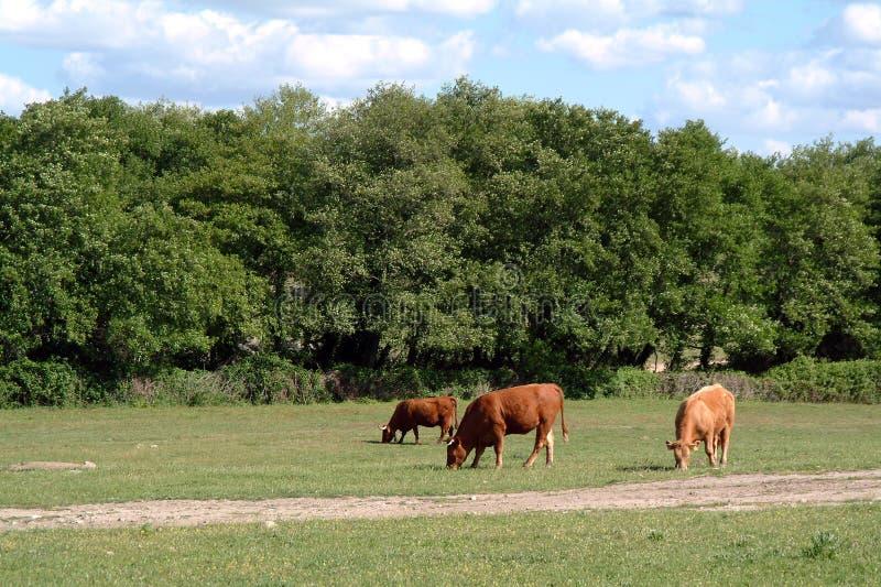 Download Koeien in handelt hij af stock foto. Afbeelding bestaande uit gras - 290360