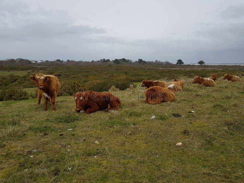 Koeien in Hayling-Eiland royalty-vrije stock foto's