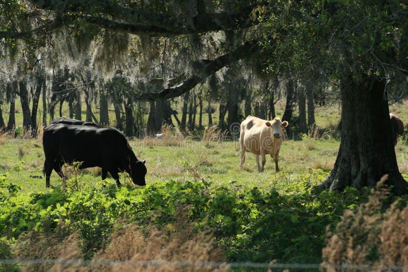 Koeien in het weiland van FL royalty-vrije stock foto