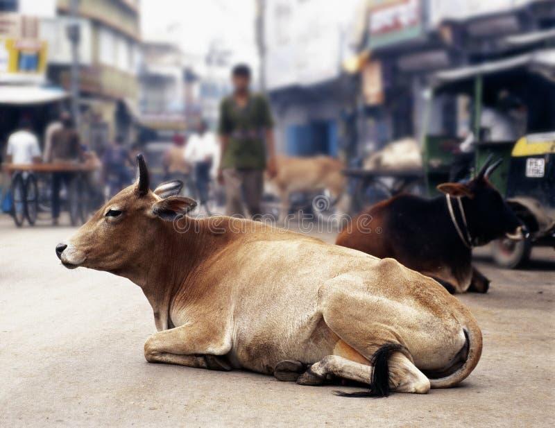 Koeien in India royalty-vrije stock afbeelding
