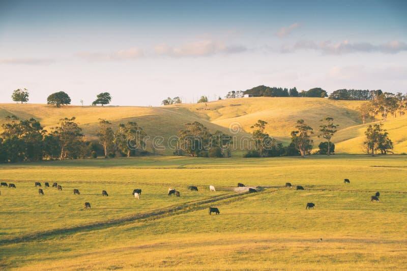 Koeien in landelijk Australië royalty-vrije stock afbeelding