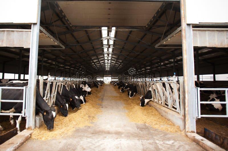 Koeien in melkveehouderij stock afbeelding
