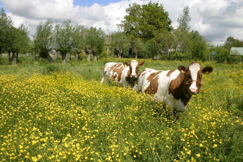 Koeien in Nederlands landschap 5 stock afbeeldingen