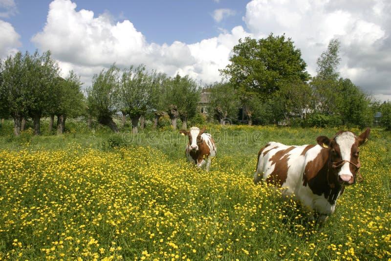 Koeien in Nederlands landschap 6 stock foto's