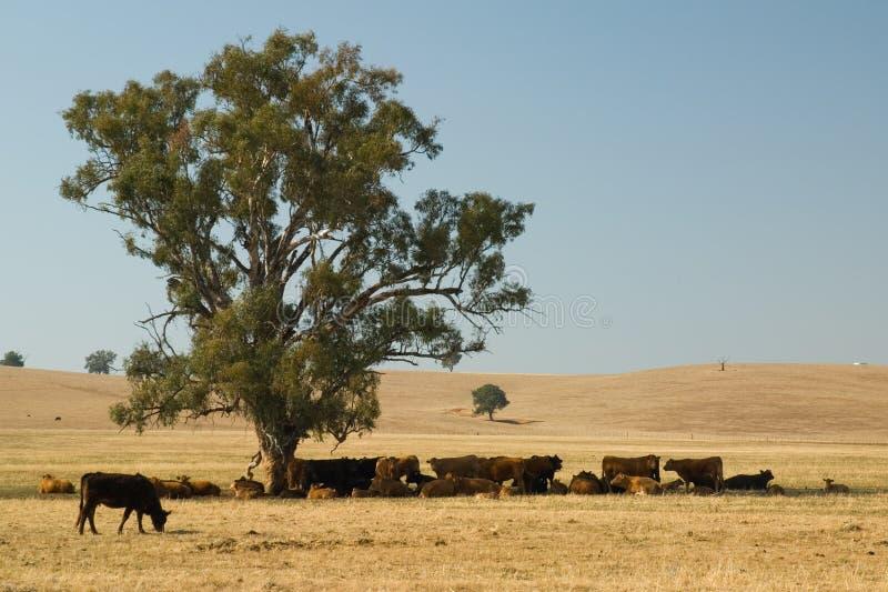 Koeien onder boom stock foto