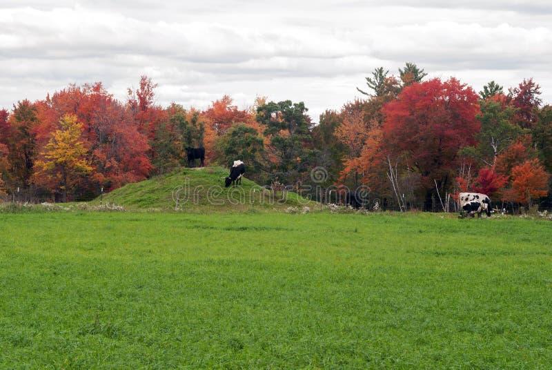 Koeien op de herfstweiland, Monroe County, Wisconsin, de V.S. stock foto