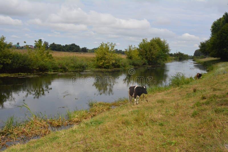 Koeien op de rivierbank stock foto
